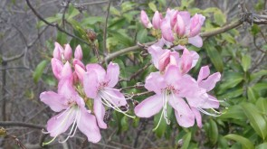 Pinkshell azalea (Rhododendron vaseyi) beside the BRP