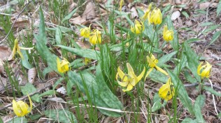 Trout lilies (Erythronium) beside the BRP