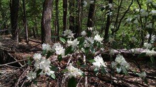 Rhododendron minus (var. minus?)