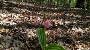 Pink lady's slipper (Cypripedium acaule)