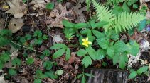 Maybe Early Buttercup (Ranunculus fascicularis)