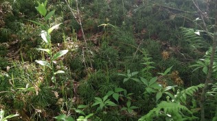 Fan Club Moss (Lycopodium digitatum)