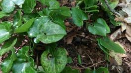 Variable-leaf Heartleaf (Hexastylis hete)rophylla