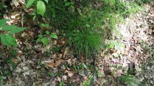 Pennsylvania Sedge (Carex pensylvanica)