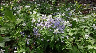 Bluet and Wood Anemone Combination