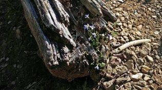 Little Bluet Garden