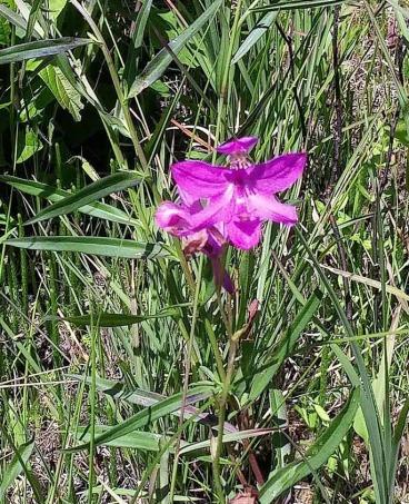 Grass Pink (Calopogon tuberosus) Bloom