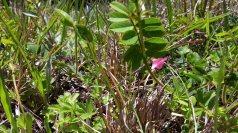 Loose-flowered Goat's Rue (Tephrosia spicata)