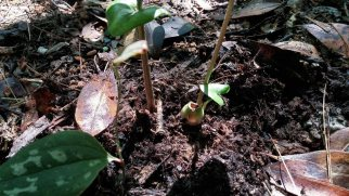 Something's Been Nibbling the Little Brown Jug (Hexastylis arifolia)