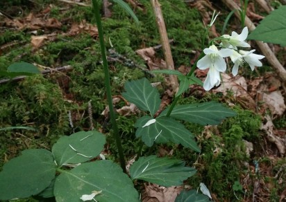 Crinkleroot (Cardamine diphylla)
