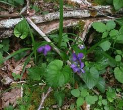 Marsh Blue Violet (Viola cucullata) Blooms