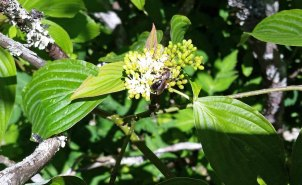 Alternate-leaved Dogwood (Cornus alternifolia)