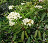 A Wild Raisin (Viburnum Cassinoides)