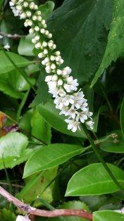 Galax (Galax urceolata) Bloom
