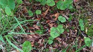 Appalachian Twayblade (Listera smallii)