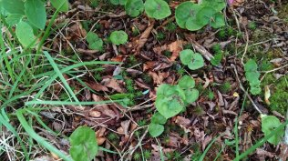 Appalachian Twayblade (Neotia smallii)