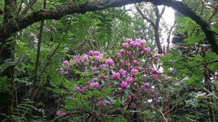 Catawba Rhododendron Display