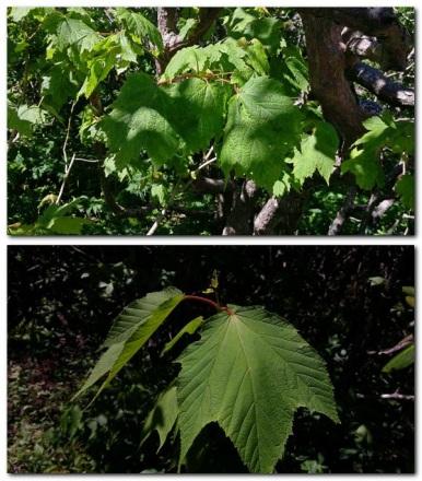 Striped vs Mountain Maple (Acer pensylvanicum vs Acer spicatum)