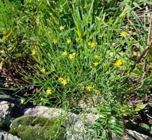 Hypericum gentianoides (Orange Grass)