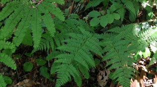 Intermediate Wood Fern (Dryopteris intermedia)