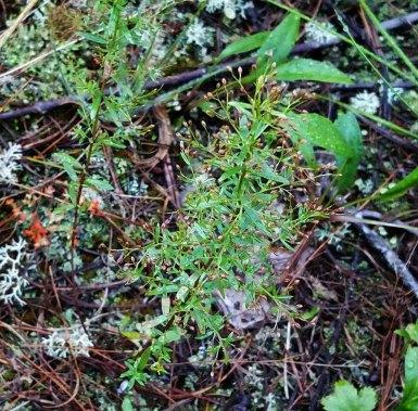 Pinweed (Lechea racemulosa)