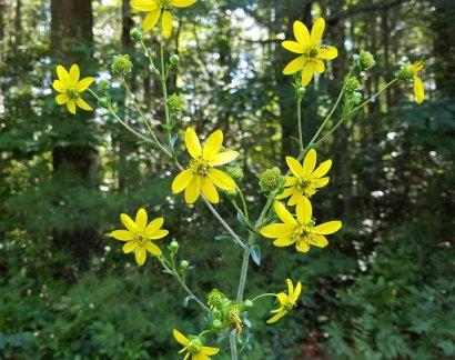 Rosinweed (Silphium compositum)
