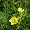 Evening Primrose (Oenothera biennis) and Small-flowered Agrimony (Agrimonia parviflora)
