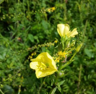 Evening Primrose (Oenothera biennis) and Small-flowered Agrimony (Agrimonia parviflora)