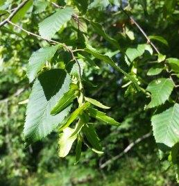 American Hornbeam (Carpinus caroliniana)
