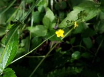 an Agrimony (Agrimonia sp.) Bloom