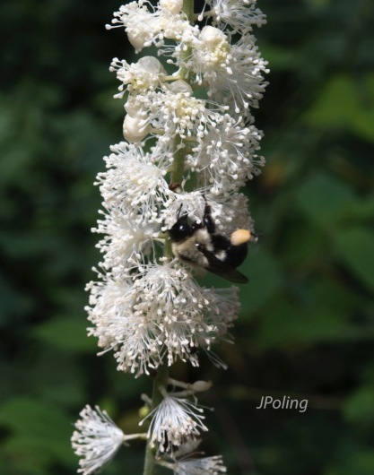 Black Cohosh (Actaea racemosa) and friend