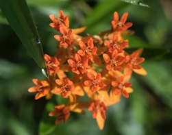 Butterfly Weed (Asclepias tuberosa)