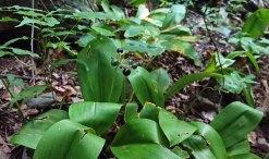Clinton's Lily (Clintonia umbellulata) Fruit