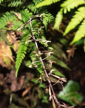 Cranefly Orchid (Tipulara discolor)