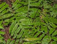 Netted Chain Fern (Woodwardia areolata)