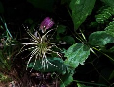Northern Leatherflower (Clematis viorna) Bloom and Seed
