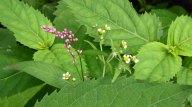 Long-bristled Smartweed (Persicaria longiseta) & Peruvian Daisy (Galinsoga quadriradiata)