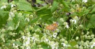 Virgin's Bower (Clematis virginiana) & American Painted Lady (Vanessa virginiensis)