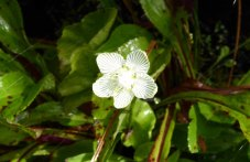 Kidneyleaf Grass of Parnassus (Parnassia asarifolia)