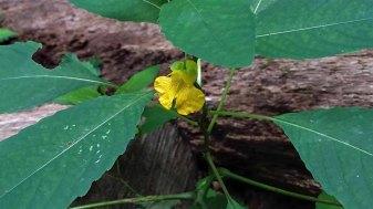 Pale Jewel Weed (Impatiens pallida)