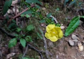 Smooth False Foxglove (Aureolaria flava)
