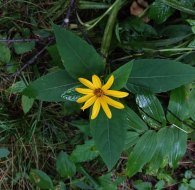 Smooth Sunflower (Helianthus laevigatus)