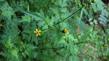 Spanish Needles (Bidens bipinnata) Blooms
