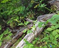 Spanish Needles (Bidens bipinnata) Seeds