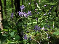 Tall Blue Lettuce (Lactuca biennis) Blooms
