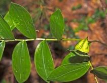 Sessile Bellwort Fruit (Uvularia sessifolia)