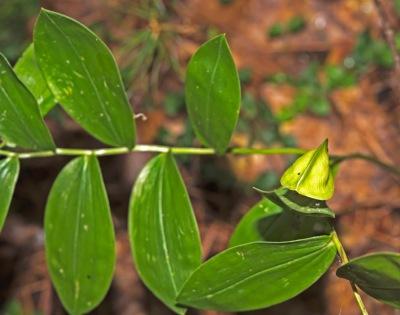 Sessile Bellwort Fruit (Uvalaria sessifolia)
