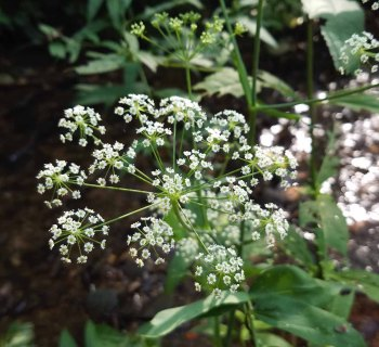 Possibly Cowbane (Oxypolis rigidior)