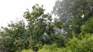 American Chestnut (Castanea dentata) With Fruit