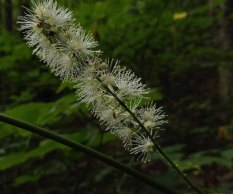 Black Cohosh (Actaea racemosa) Blooms